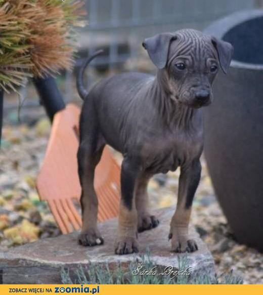 American hairless terrier,  Teriery cała Polska