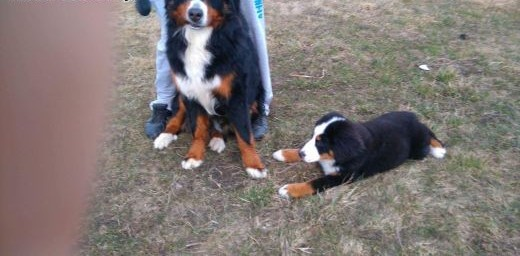 Bernenski pies pasterski reproduktor   lubelskie Lubartów