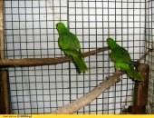 Papauga czerwonoskrzydla 2013