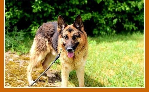 AZTEK owczarek niemduży przyjazny pies do domu z ogrodemADOPCJA   dolnośląskie Wrocław