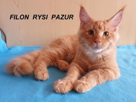 Filon Rysi Pazur dorodny kocurek maine coon