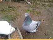 Gołębie rasy mięsnej - mondainy . Samiczka. Wysyłka - 28zł.