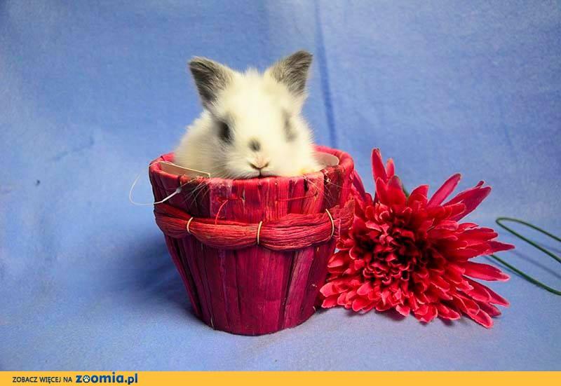 Królik miniaturka Karzełek Teddy Rasowe Hodowla Zarejestrowana