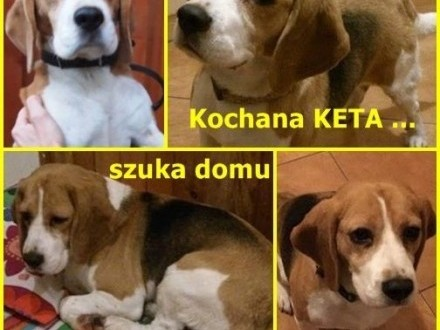 Kochana KETA szuka domu ;#8230;   Beagle cała Polska
