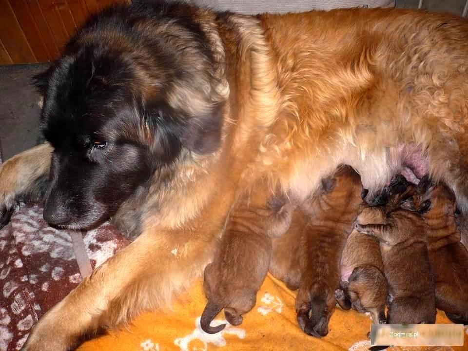 Leonberger - szczeniaki z rodowodem