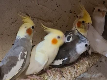 Papugi faliste  nimfy  modrolotki zeberki