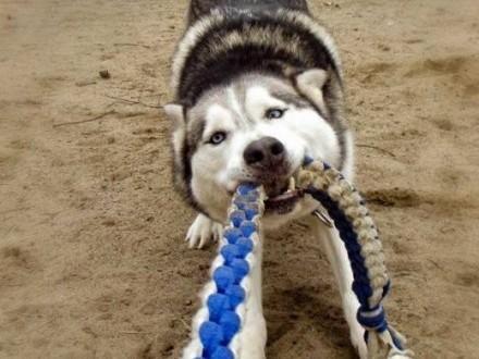 Rudi wesoły  aktywny siberian husky czeka na uśmiech losu   Kundelki cała Polska