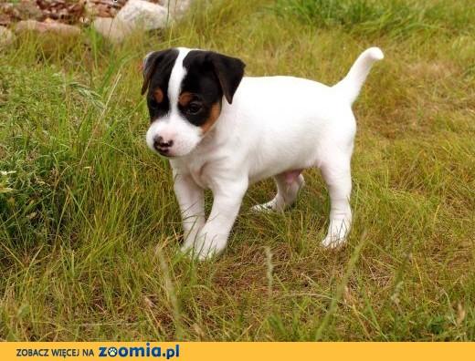 Niesamowite Jack Russell Terrier- ostatni piękny gładkowłosy szczeniak KX42