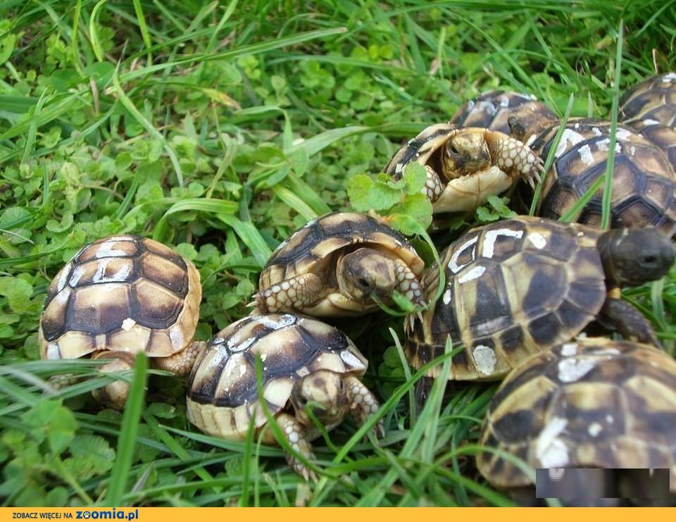 żółw grecki lądowy sprzedam