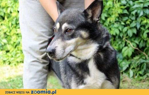 Beniamin-pies w typie rasy jamthund (szwedzki elkhund)!,  śląskie Częstochowa