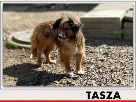 TASZA łagodna nieśmiała sunia po przejściach do domu z ogrodem sterylizowana TASZA   mazowieckie Warszawa