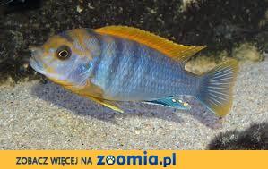 pyszczaki labidochromis hongi