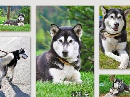 Shila młoda suczka w typie alaskan malamute szuka domu