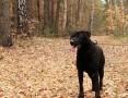 Nygus - energiczny psiak w typie laba szuka domu