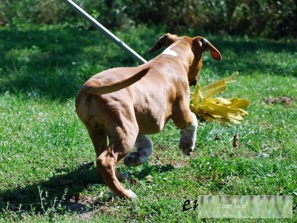 American Staffordshire Terrier, Amstaff, Amstaf piesek