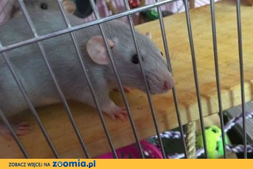 Szczurki, szczury, szczur ,  śląskie Katowice