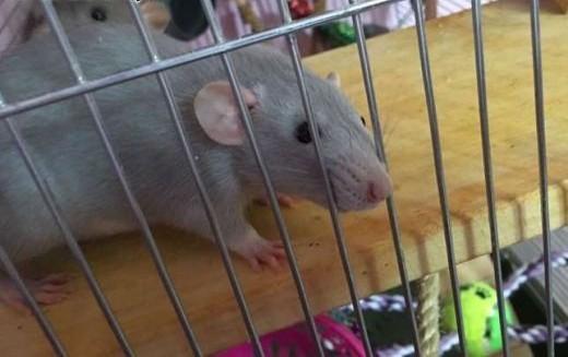 Szczurki  szczury  szczur    śląskie Katowice