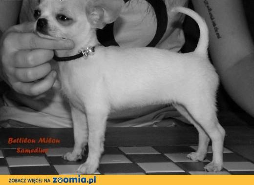Chihuahua krótkowłosa kremowa sunia FCI,  śląskie Wodzisław Śląski