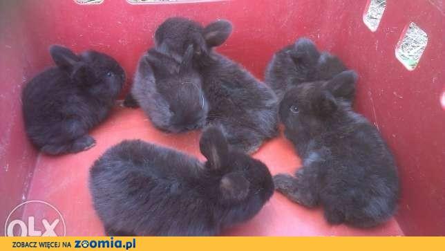 Króliki królik Samica i 3 młodych 70zł tylko woj.opolskie