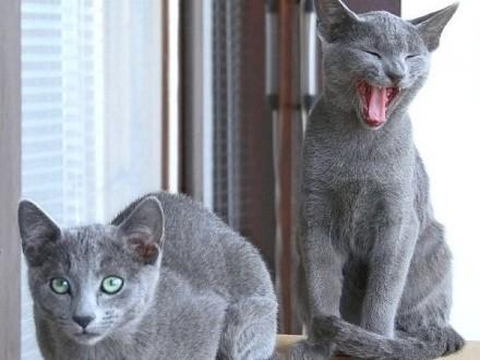 Koty, Kocięta Rosyjskie - Niebieskie z Rodowodami - GDYNIA