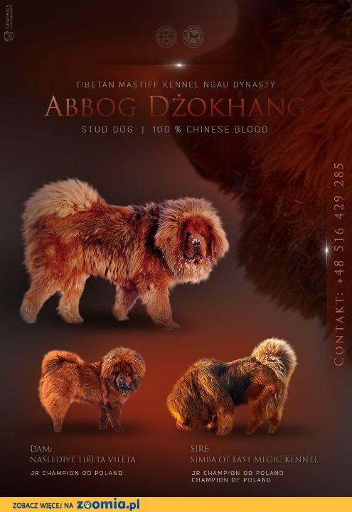 REPRODUKTOR ZKwP_FCI - Czerwony Mastif Tybetański - 100 % chińska krew