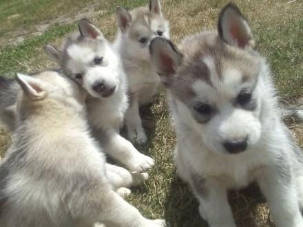 zwierzęta>psy>Husky