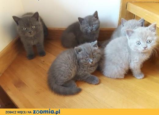 Kocięta,kotki brytyjskie z rodowodem,mazowieckie,  mazowieckie Warszawa