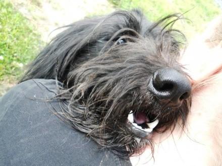 Bruner zwany Burgundem - piękny  długowłosy psiak do ADOPCJI
