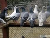 gołębie pocztowe likwidacja