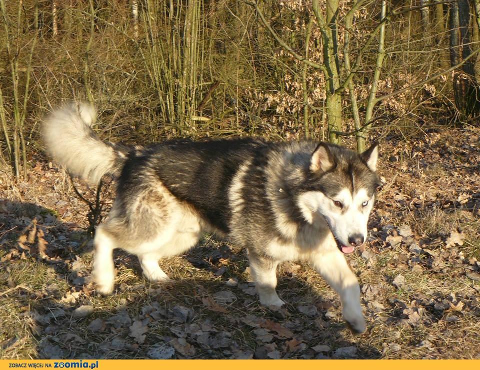 Kobuk idealny pies do sportu