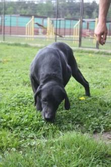 Przemiła sunia w typie labradora szuka domu