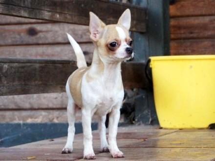 Chihuahua krótkowłosa suczka elitarny rodowód