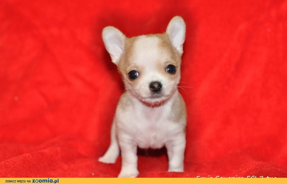 Śliczny piesek Chihuahua z rodowodem już do rezerwacji