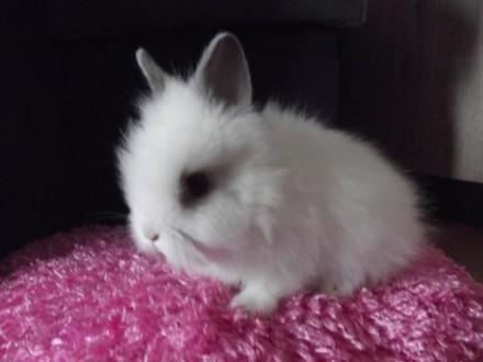 króliczek królik karzełek teddy śnieżnobiały z beżowymi uszkami