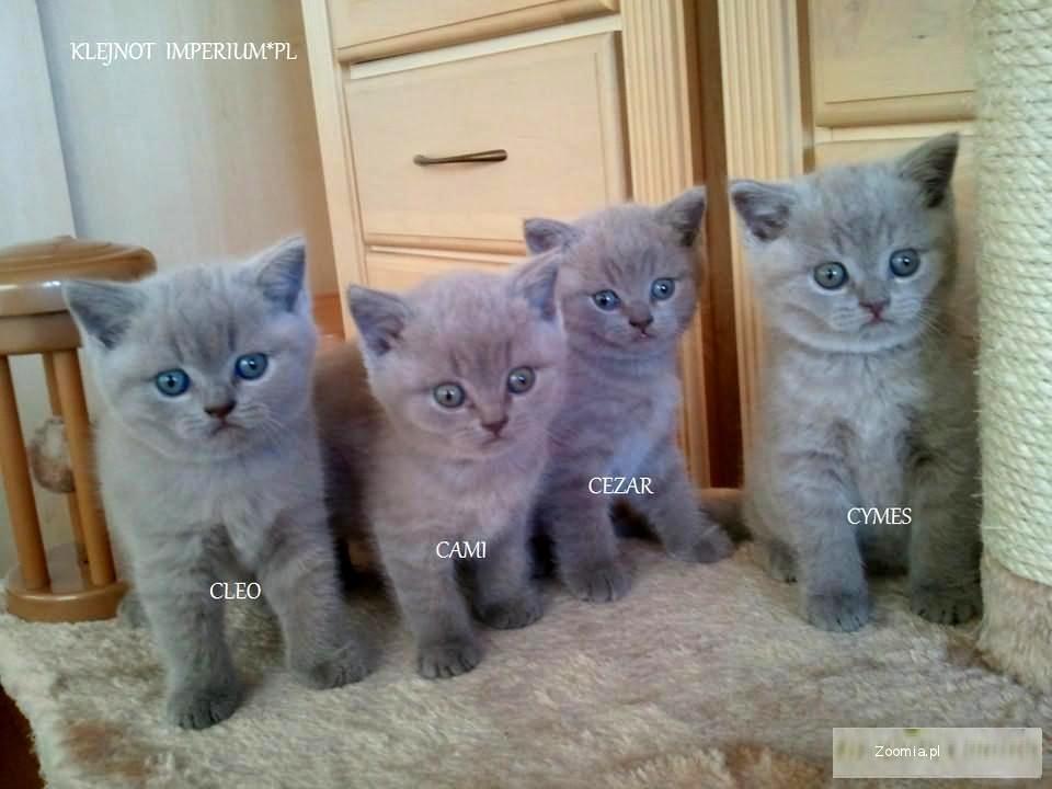 Liliowe Kocięta Brytyjskie Brytyjski Koty Archiwum Zoomia Pl