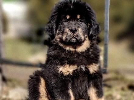 Mastif Tybetański - dostępne szczenięta
