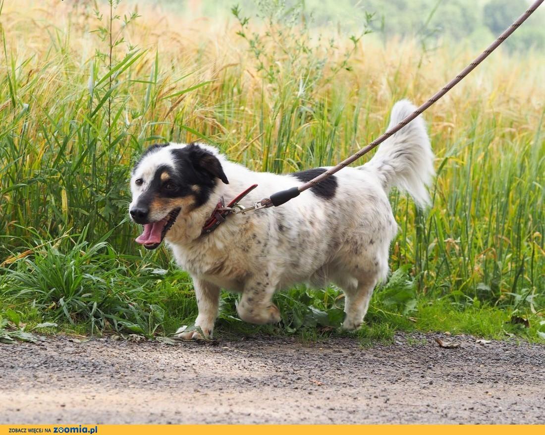 Halifik-piękny, z wyjątkowym umaszczeniem pies!,  śląskie Częstochowa