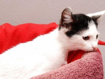 Kotka Sally słodziak z podwiniętym uszkiem czeka na dom!