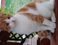 Biało-rudy kocurek pilnie potrzebuje domu,  lubelskie Biała Podlaska