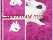 królik miniaturka,  wielkopolskie Turek