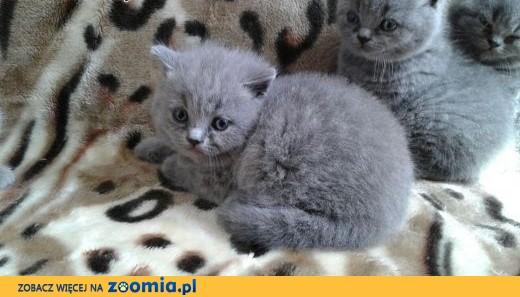 Kot Brytyjski Koty Brytyjskie Liliowe Niebieskie śląskie