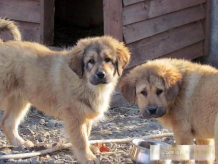 Masif tybetański śliczne rude szczeniaki