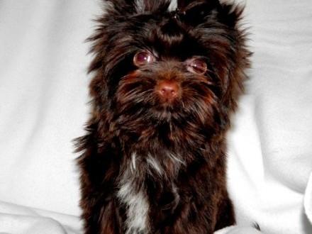 York  Yorki  Piesek Dark Choco Yorkshire Terrier z rod PFK