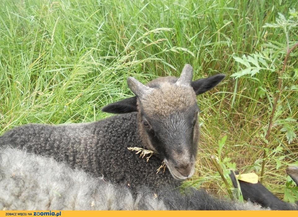 Owca Wrzosówka - piękne stado + Gratis