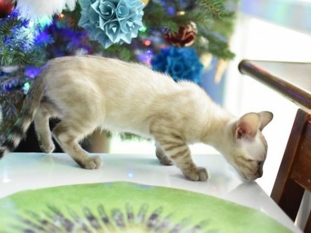 Kocurek bengalski Jazz koty i kocięta bengalskie z hodowli Aeni Bengal*PL