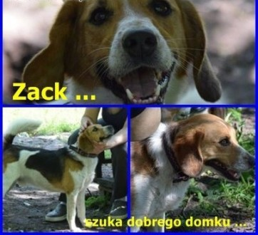 Zack szuka dobrego domu    Beagle cała Polska
