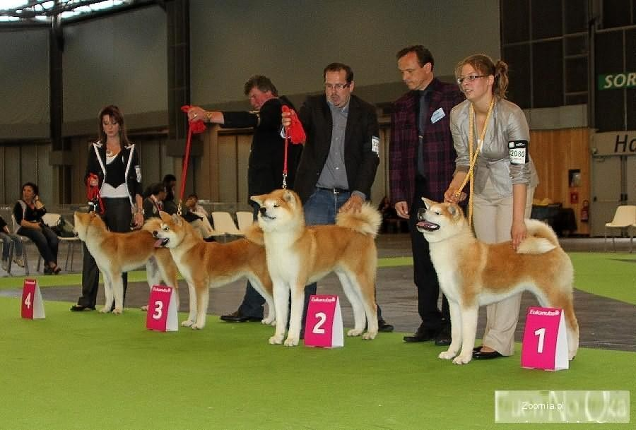 AKITA INU - akita japońska - czerwony pies po Zwyc. ŚWIATA