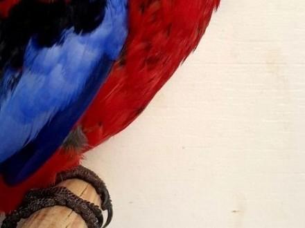 Rozella królewska rozelle królewskie dojżała para papuga papugi