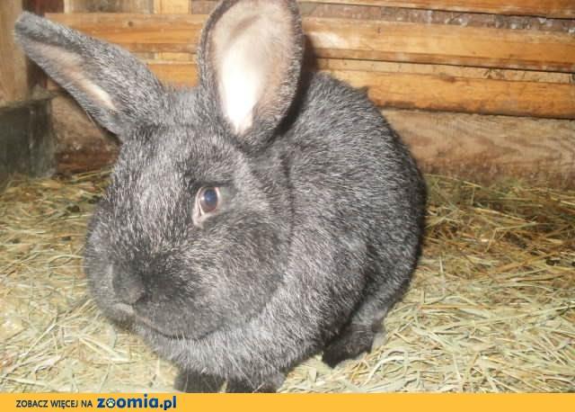 sprzedam króliki krzyżówka WN/WJS