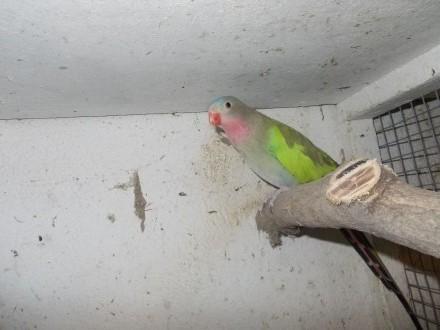 papugi księżniczki walii